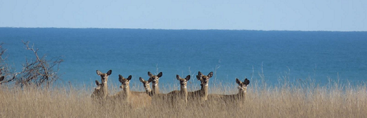 White Tail Deer Overlooking Lake Erie